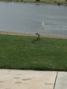 Momma duck and the Sons of Liberty make it back to the safety of the lake.